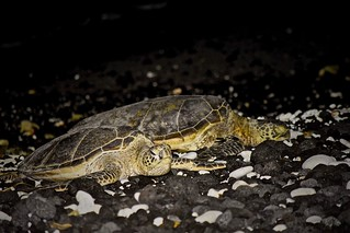At Rest:  Honu or Green Sea Turtles (Chelonia mydas)