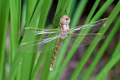 Dragonfly on basket grass (Explored) (keithhorton3) Tags: dragonfly lomandra newsouthwales wollongong australia insect macro closeup nature longifolia basketgrass bug