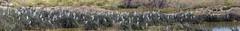 Lovely Bunch of Egrets (Tom Kilroy) Tags: belen newmexico bird cattleegrets marsh nature outdoors reedgrassfamily forest swamp tree grass landscape plant scenics season water beautyinnature summer winter ruralscene