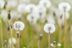 White fluffy dandelions, selective focus. (tvrdypavel) Tags: abstract art background beam beauty blur bokeh close colorful concept dandelion day defocus design easter effect field flora flower fluffy flying foliage fresh garden grass green growth lawn leaf light lush meadow natural nature park pattern photography plant scenic season seeds shiny soft spring summer sun sunny texture wallpaper white