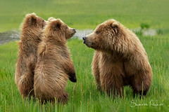 Listen To Your Mama (Sharon's Nature) Tags: mammal wildlife bears wild canon alaska lakeclarknationalpark grizzly mother cubs brownbear