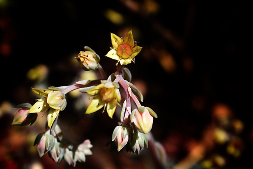 Tiny Succulent Flowers