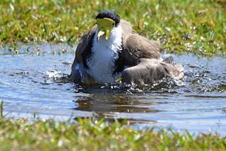 Masked Lapwing bathing_2312 (Vanellus miles)