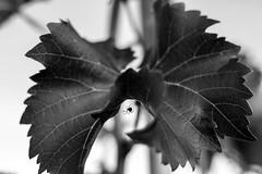 Drunk Spider (Giovanni Piero Pellegrini) Tags: black white spider web drunk wine vineyard grey grapevine vine leaf under hidden
