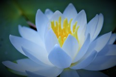 Water lily (Jeong Kab Cheol) Tags: waterlily water lily