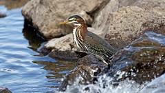 IMG_1092_DxOFB (Aria (RJWarren)) Tags: greenheron butoridesvirescens nature wildlife wild fauna avian bird heron shorebird midwest iowa juvenile young canon 6d tamron150600mm