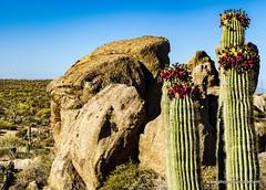 Saguafro fruit and boulders (doveoggi) Tags: 0054 sonymk3 arizona scottsdale mcdowellsonoranpreserve desert