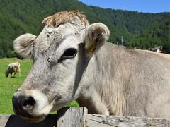 Muuuuu 🐮 (_Sarocchia_) Tags: mucca cow animal pet mountain pascolo holiday primopiano detail capture shot light colours trentinoaltoadige volgoitalia photography photo igers italy nature green nikon travel travelphoto