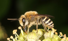 Ivy Bee (timz501) Tags: ivybee colleteshederae jersey