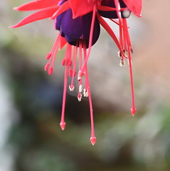 DSC_1655 Fuchsia (PeaTJay) Tags: nikond750 sigma reading lowerearley berkshire macro micro closeups gardens outdoors nature flora fauna plants flowers fuchsia