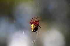 IMG_8420 (James Gemperline) Tags: spider arachnid web triangulateorbweaver verrucosaarenata orbweaver arrowheadspider