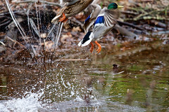FX6_4062.jpg (Skipjack Photography) Tags: pond floatingonwater duck riverbank rippled river waterfowl standingwater watersurface mallard lake shallow water wading