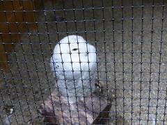 Snowy Owl  P1160982 (LesD's pics) Tags: owls birds pembrokeshirefalconry snowyowl