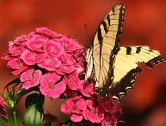 (Ƹ̴Ӂ̴Ʒ Liz Ƹ̴Ӂ̴Ʒ) Tags: smile saturday uniflona macro mondays multicolor tiger swallowtail butterfly smileonsaturday
