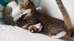 [ハチマロ通信] 3カウント (moriyu) Tags: japan tokyo nikon d700 cat 猫 ニコン 東京
