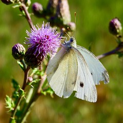 Large White (Ralf Mooß) Tags: nikon p900 105mm macro nature animal insect butterfly greatwhite kohlweissling