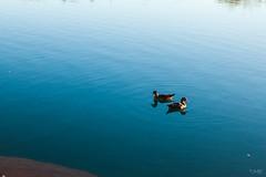 (saqramone) Tags: canoneos500d canont1i canoneos nature argentina rebelt1i canon primavera canoneosrebelt1i blue canonrebelt1i wildlife vilaelchocon verano otoño lake neuquen ducks faunayflora