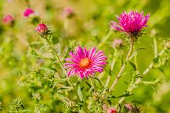 Summer flowers (a7m2) Tags: weingärten perchtoldsdorf heide wienerwald sommer erholung wandern spazieren