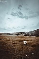 Lagos de Covadonga XII (Álvaro Hurtado) Tags: nikon d7200 sigma naturaleza nature paisaje landscape asturias españa spain oviedo monte mount montaña mountain lagos lakes covadonga picos europa ercina niebla fog mist vaca cow agua water nubes clouds
