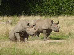 Mother and child (JuliaC2006) Tags: kent howletts animal rhinocerous dicerosbicornismichaeli