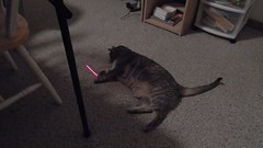 DSCN3251 (mestes76) Tags: 100617 duluth minnesota cats pets fetty fettucini cattoys laserpointer playing videos