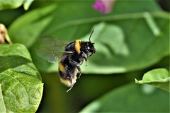 long jump (Paul Wrights Reserved) Tags: bee bees beeinflight insect inflight insects infocus wings flying fly jump jumping nature naturephotography wildlife wildlifephotography macro macrophotography