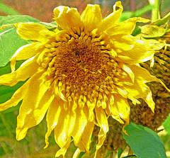 Sunflower Oil Paint (Cornishcarolin. Stupid busy!! xx) Tags: cornwall httpswwwedenprojectcom nature flowers sunflowers plants filters oil oilfilter 1001 nights 1001nights