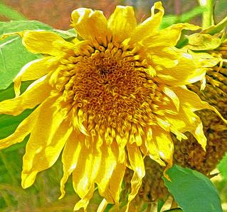 Sunflower Oil Paint