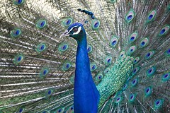 Pavão (Carlos Santos - Alapraia) Tags: pavão ngc ourplanet animalplanet canon nature natureza wonderfulworld highqualityanimals unlimitedphotos fantasticnature birdwatcher ave bird pássaro peacock