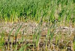 2017 Sandhill Crane Colt 8 (DrLensCap) Tags: sandhill crane colt highway 49 horicon marsh national wildlife refuge waupun wisconsin wi bird baby robert kramer