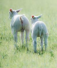 In retrospect (Ingeborg Ruyken) Tags: grass spring sheep mei flickr ochtend 500pxs empelfilmpjelente2018 empel gras lamb empelsedijk lente natuurfotografie lammetje may instagram schaap