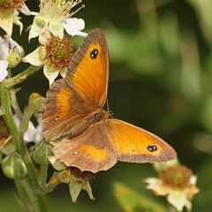 2018_07_0594 (petermit2) Tags: gatekeeperbutterfly gatekeeper butterfly hatfieldmoors hatfield lindholme doncaster southyorkshire yorkshire peat bog humberheadpeatlands humberhead naturalengland nnr