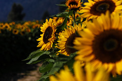 Sunflower Field (Photo Alan) Tags: sunflower light flowers flower nature vancouver autumn canada canon canon5dsr canon85mmf12liiusm