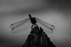 black wings (husiphoto) Tags: insekt libelle dragonfly insect natur nature bw blackandwhite tier animal flügel wings zaun fence d7100 nikon tamron