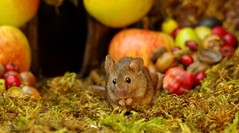 wild house mouse with autumn fruits apples and nuts (8) (Simon Dell Photography) Tags: wild garden house mouse nature animal cute funny fun moss covered log pile acorns nuts berries berrys fuit apple high detail rodent wildlife eye ears door home sheffield ul old english country s12 simon dell apples autumn fall winter fruits seasonal photography