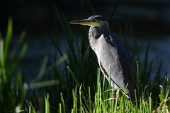 A Heron in the local park (Robin M Morrison) Tags: juvenile greyheron home