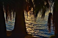 Shoreline (thomasgorman1) Tags: shore desert az arizona river tree palmtree palmtrees nature nikon outdoors sunset sundown