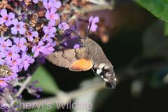 Hummingbird-Hawker Moth (Cheryl's Wildlife) Tags: wildlife nature suffolk rspb birds 2018 birdwatching nikon sigma photography east eastanglia naturereserve lackfordlakes lakes kingfisher wildlifetrust