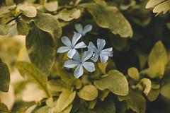 Little Blue Flowers (DanielDuron) Tags: flower blue green little nature macro landscape amazing beautiful nikon d5500 flowers