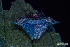 Kite orb weaver (Augusta glyphica) - DSC_3028 (nickybay) Tags: africa madagascar macro andasibe voimma araneidae augusta glyphica kite orbweaver spider uv ultraviolet fluorescence