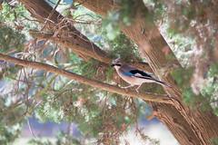 Eichelhäher (Jana`s pics) Tags: vögel birds eichelhäher nature natur wildlife wildtiere animalphotography animals tierfotografie tiere kroatien croatia hrvatska brijuni nationalpark