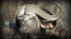 African Buffalo - The Portrait / Buffel (Pixi2011) Tags: buffalo wildlife big5 krugernationalpark africa nature portrait animals ngc