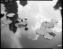 nénuphars (JJ_REY) Tags: nenuphars waterlilies reflets reflexions film largeformat 4x5 fomapan100 rodinal toyofield 45a sironarn 150mmf56 epson v800 bennwihr alsace france