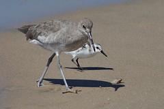 Sanderling and Willet, Playa del Rey, CA CQ4A5394 (Hart Walter) Tags: ballonajetty playadelrey blackoystercatcher willet sanderling westerngull allenshummingbird blackturnstone surfbird