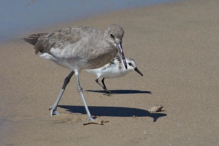 Sanderling and Willet, Playa del Rey, CA CQ4A5394