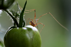 Kankert (seyf\ART) Tags: macro nahaufnahmen natur nature insects insekten fruit seeds