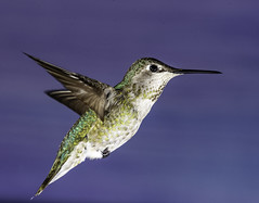Anna's Hummingbird Bound For The Feeder (Bill Gracey 20 Million Views) Tags: calypteanna annashummingbird hummingbird hummer hummingbirdphotography poway offcameraflash yongnuo yongnuorf603n paintedbackdrop nature naturalbeauty naturephotography aken