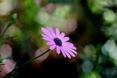 Just living is not enough... (Pamela Jay) Tags: africandaisy flora nature bokeh garden pamelajay canon60d nsw australia outside naturephotography spring