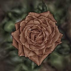 Rosas del jardín (Cande G. de la Paz) Tags: rosas roses jardín