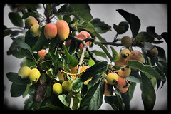 Greetings from the Season of Fruits (Clive Varley) Tags: autumnfruits sunday gimp2104partha silverefexpro2